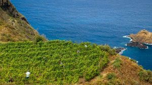 Madeiran Vineyard