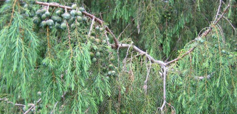Endemische Madeira Juniper (Juniperus) Cedrus Maderensis)