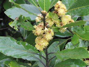 Endemische Geparfumeerde Laurier (Laurus Novocanariensis)