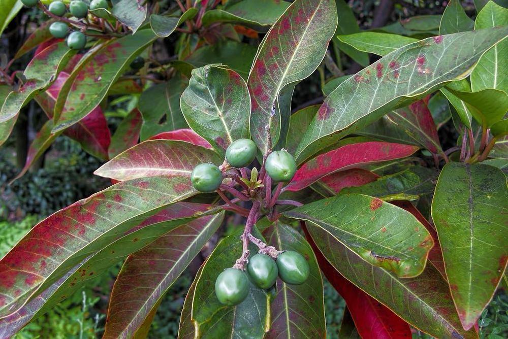 De Madeira Mahagony (Persea Indica)
