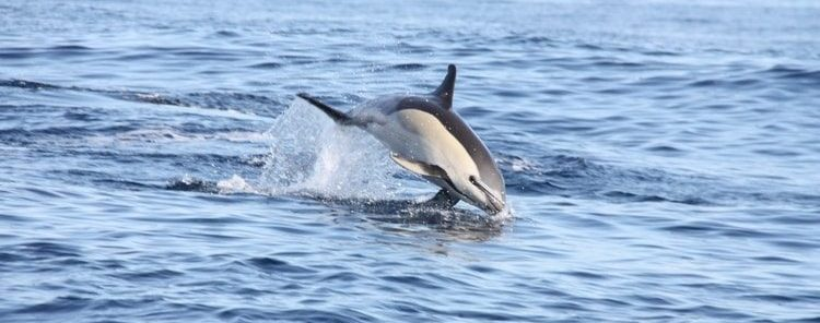 Madeira Dolphin