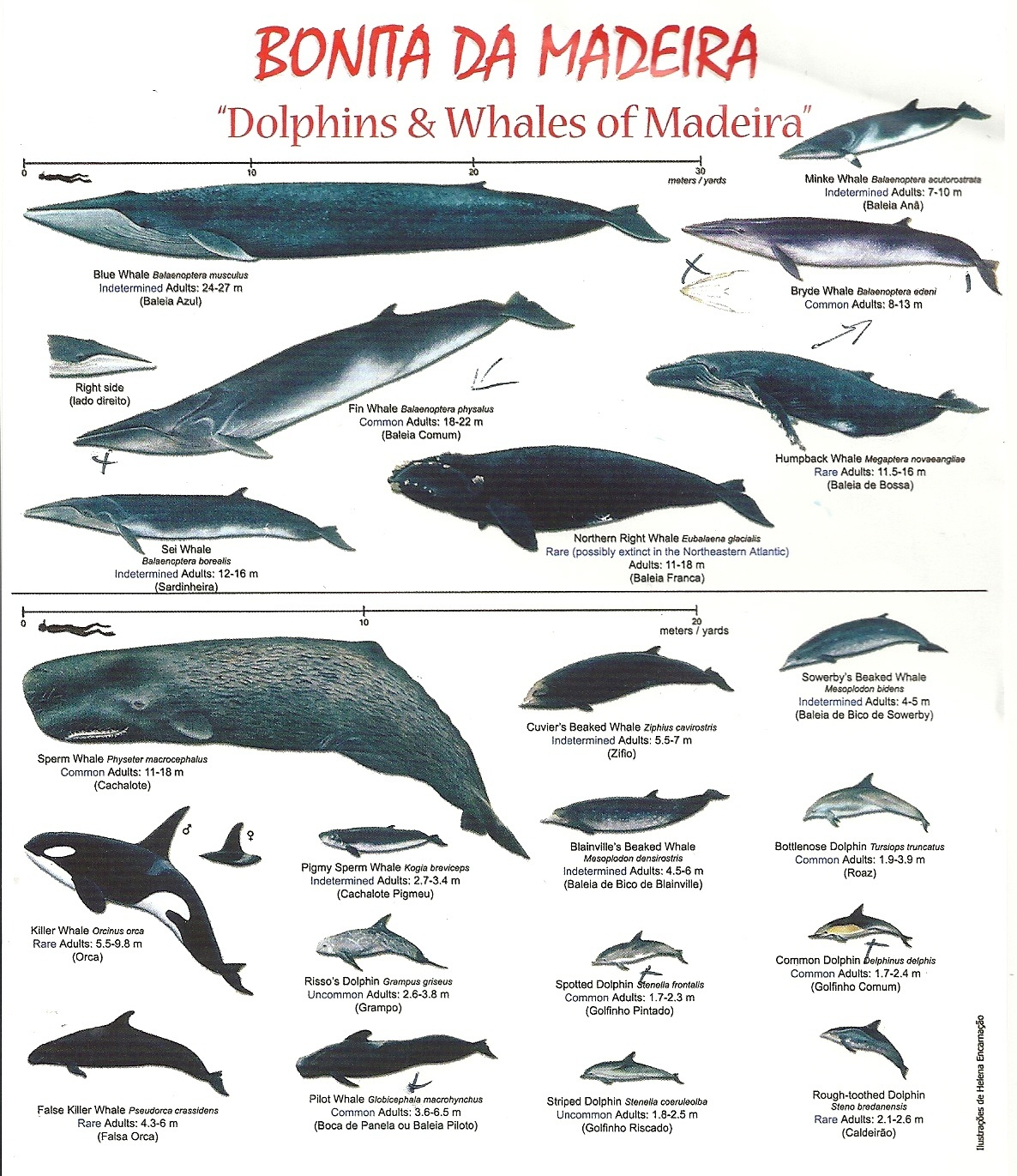 Dolphins and Whales of Madeira