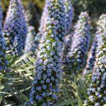 Fierté de Madère (Echium Candicans)