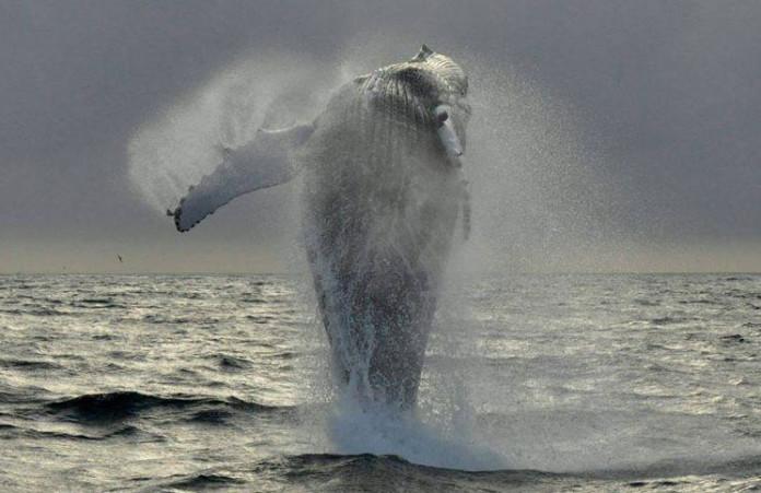 Madeira Whale
