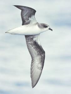 Zinos Sturmvogel Madeira