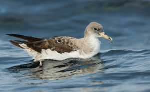 Cory's Shearwater by Luke Seitz