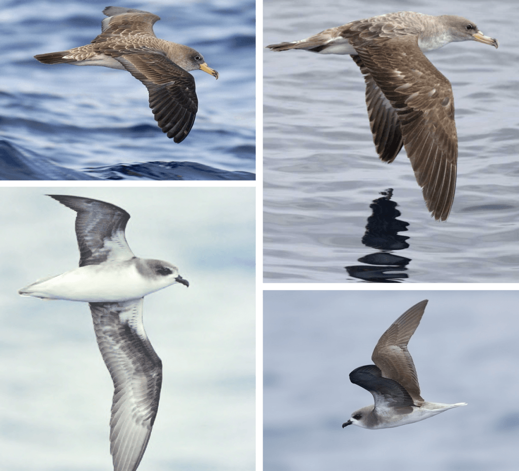 Zino's Petrel and Cory's Shearwater