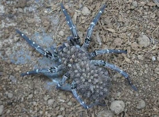 Adult Wolf Spider Desertas with babies on back