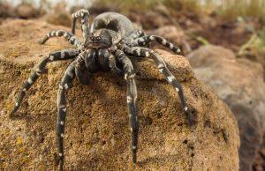 Wolf Spider Desertas Island Madeira Archipelago Portugal