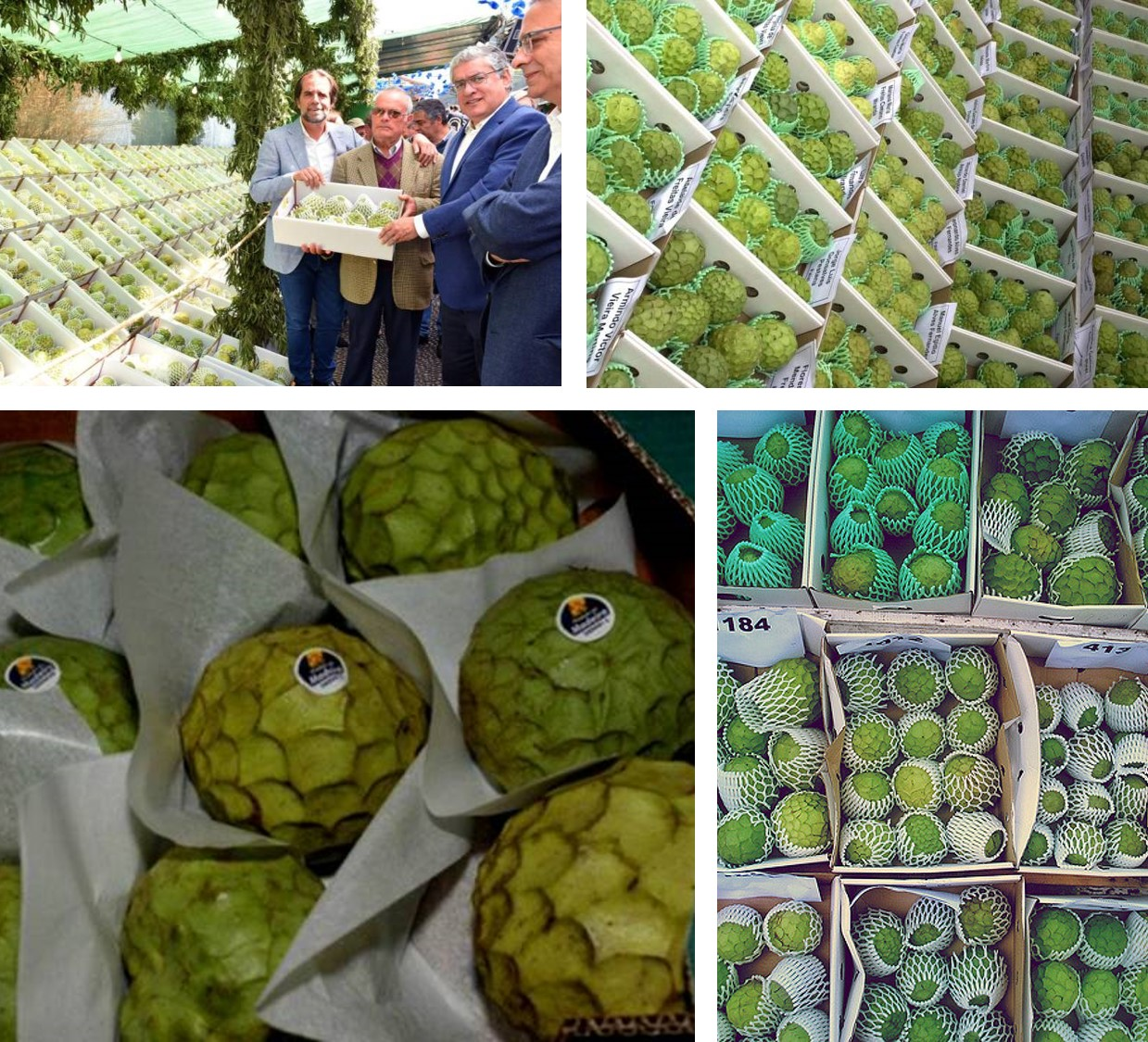 Annona Madeira Export Portugal