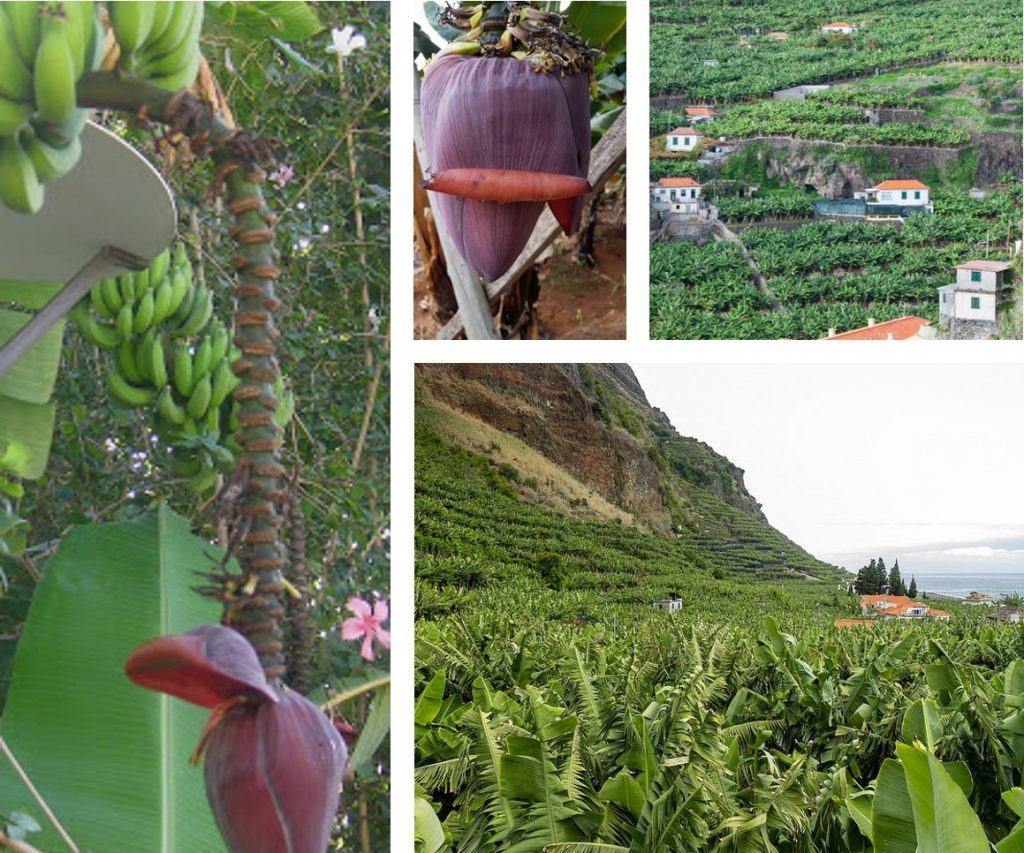Banana da Madeira Flower and Landscape
