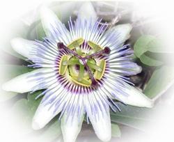 Madeira Fruits: Maracuja Passion Fruit