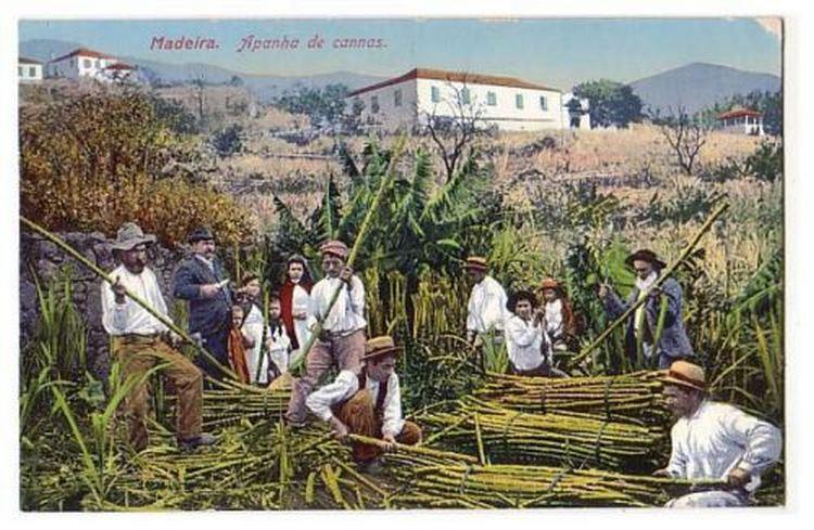 Madeira sugar cane and aguardente
