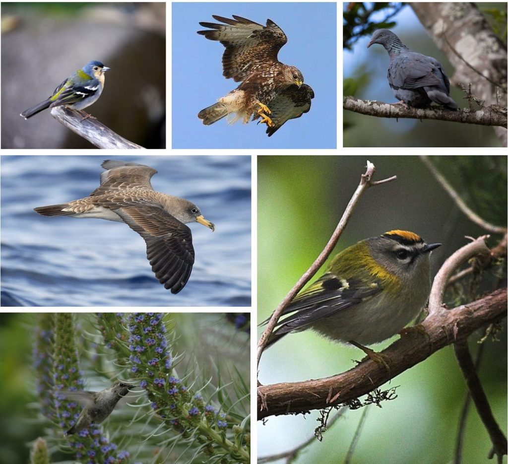 Madeira Bird watching Best bird wathcing destination in Europe