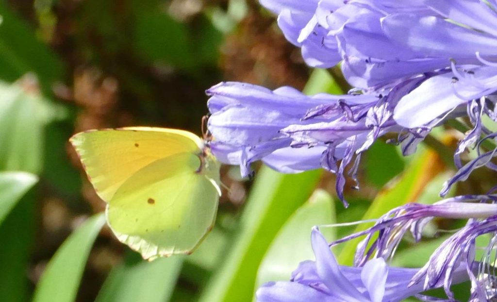 Madeira Brimstone (Gonepteryx maderensis) endemic butterfly