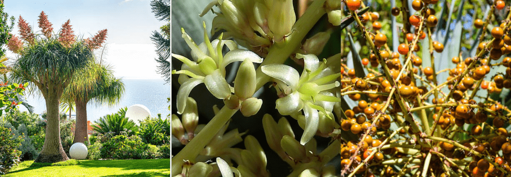 Dragon Tree Flower and Fruit