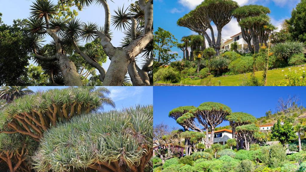 Madeira Dragon Trees Nucleus – Nûcleo dos Dragoeiros das Neves