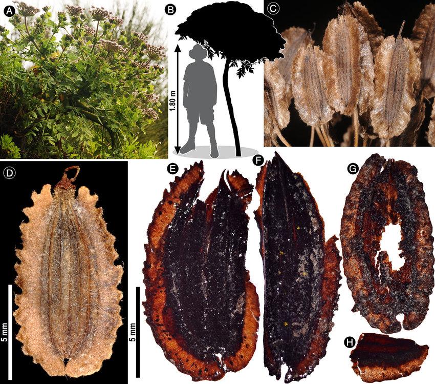 Daucus decipiens madeira Madeira Portugal Madeira Island Melanoselinum Daucus Decipiens Madeira